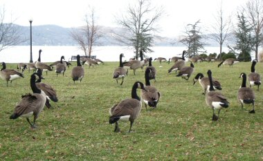 1geese7