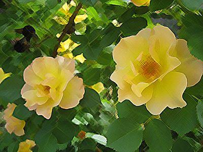 Rosespscrosshatch