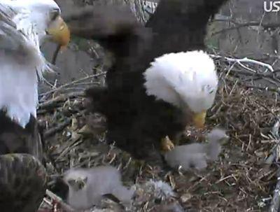 Eaglet44