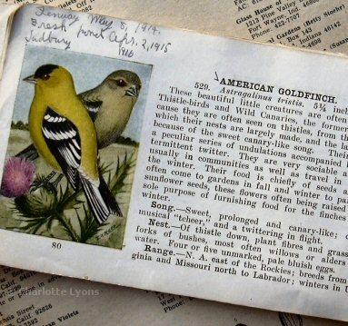 1bbgoldfinchs
