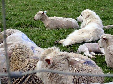 Shepherd2400